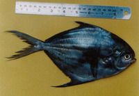 Peprilus medius, Pacific harvestfish: fisheries