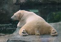 Image of: Ursus maritimus (polar bear)