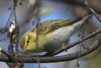 Phylloscopus sibilatrix - Wood Warbler