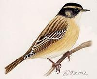 Image of: Prunella montanella (Siberian accentor)