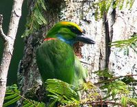 Yellow-crowned Barbet - Megalaima henricii