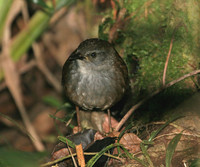 Chestnut-backed Bush Warbler - Bradypterus castaneus