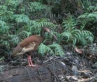 Madagascar Crested Ibis (Lophotibis cristata) photo