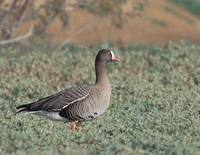 Lesser White-fronted Goose (Anser erythropus) photo