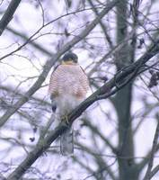 Eurasian Sparrowhawk (Accipiter nisus) photo