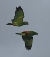 Red-crowned Parrot - Amazona viridigenalis