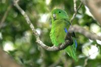 Blue-winged  parrotlet   -   Forpus  xanthopterygius   -   Pappagallino  aliblu