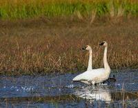 Trumpeter Swans on their way south during the fall migration.
