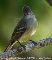 Yellow-bellied Elaenia (Elaenia flavogaster)