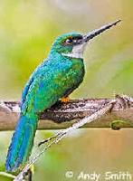 A Rufous-tailed Jacamar photographed during a FONT tour