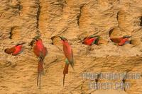 Southern Carmine Bee eaters nesting in river bank stock photo