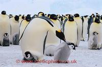 FT0100-00: Emperor Penguin adult with a chick on its feet pecks a passing chick. Antarctica