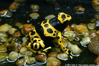 : Dendrobates leucomelas; Yellow and Black Poison Arrow Frog