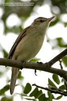 Oriental Reed-Warbler Scientific name - Acrocephalus orientalis