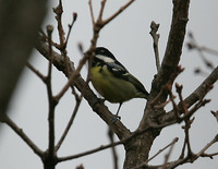 노랑배진박새 Yellow-bellied Tit