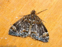 Dysstroma truncata - Common Marbled Carpet
