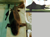 Oxynotus centrina, Angular roughshark: fisheries