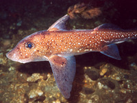 Hydrolagus colliei, Spotted ratfish: aquarium