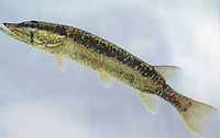 Esox americanus americanus, Redfin pickerel: gamefish