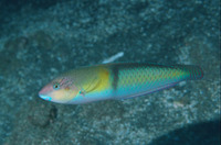 Halichoeres garnoti, Yellowhead wrasse: aquarium
