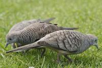 Image of: Geopelia striata (zebra dove)