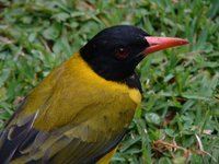 African Black-headed Oriole - Oriolus larvatus