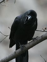 Large-billed Crow - Corvus macrorhynchos
