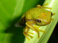 : Hylomantis lemur; The Lemur Leaf Frog