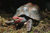 : Chelonoidis carbonaria; Red-footed Tortoise
