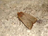 Conistra ligula - Dark Chestnut