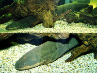 Electrophorus electricus, Electric eel: fisheries, aquarium
