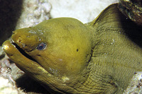 Gymnothorax funebris, Green moray: fisheries, aquarium