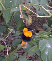 Image of: Euplectes franciscanus (northern red bishop)