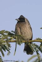 Image of: Pycnonotus cafer (red-vented bulbul)