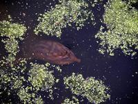 Image of: Apalone ferox (Florida softshell turtle)