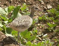 Little Curlew - Numenius minutus
