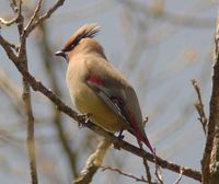 Japanese Waxwing - Bombycilla japonica