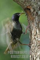 European Starling ( Sturnus vulgaris ) landing near its nest with food in his pecker stock photo