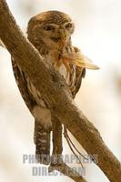 Pearl spotted Owlet eating a locust stock photo