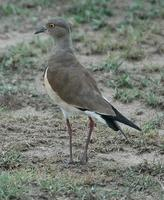 Black-winged Lapwing p.128