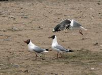 Brown-headed gulls Larus brunnicephalus