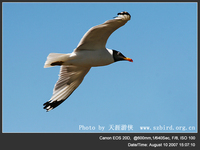Larus ichthyaetus Great Black-headed Gull 漁鷗 045-022