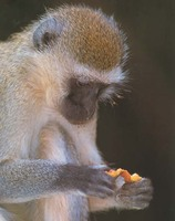 photograph of a vervet monkey : Cercopithecus aethiops
