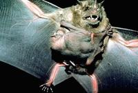 Image of: Artibeus jamaicensis (Jamaican fruit-eating bat)