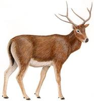 Image of: Elaphurus davidianus (Pere David's deer)