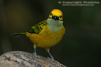 Tangara icterocephala - Silver-throated Tanager