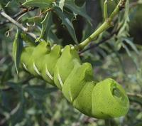 Image of: Sphingidae (hawk moths, hornworms, and sphinx moths)