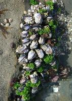 Image of: Mytilus californianus (California mussel)