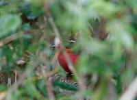 Rosy Thrush-Tanager (Rhodinocichla rosea) photo