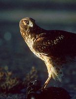 Northern Harrier (Circus cyaneus) photo